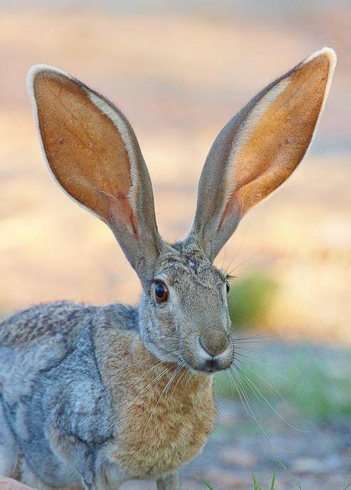 Woestijnhaas-Lepus-californicus